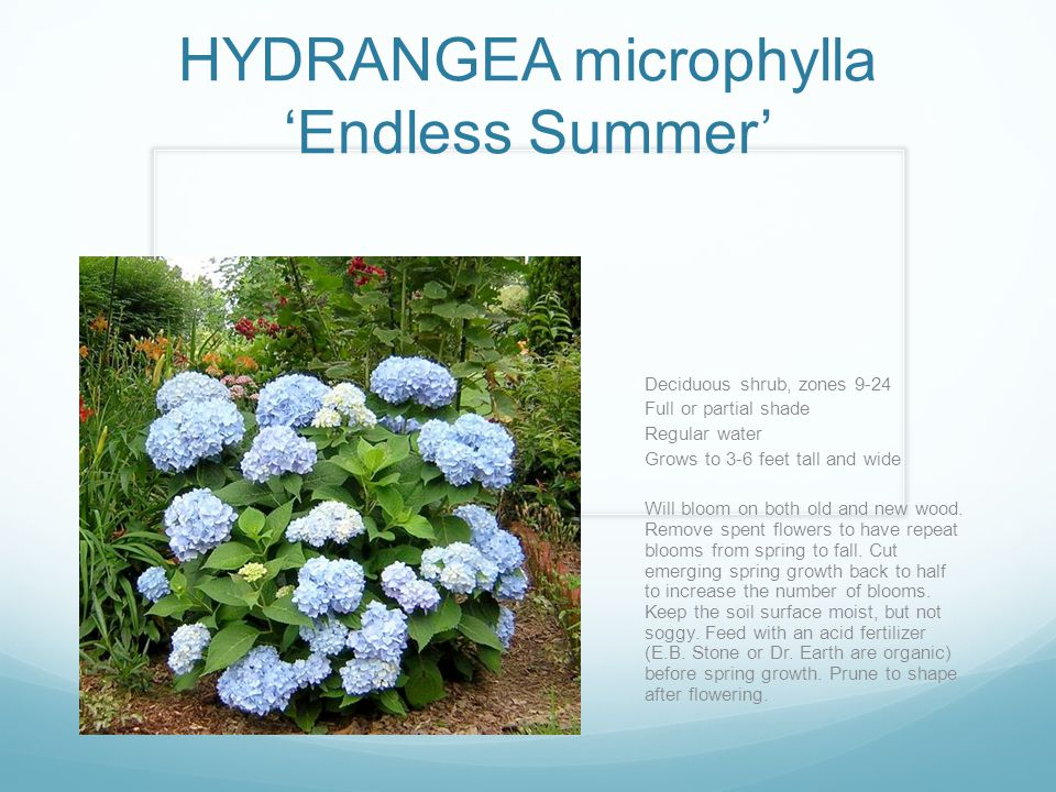 HYDRANGEA microphylla 'Endless Summer' Deciduous shrub, zones 9-24 Full or partial shade Regular water Grows to 3-6 feet tall and wide Will bloom on both old and new wood.