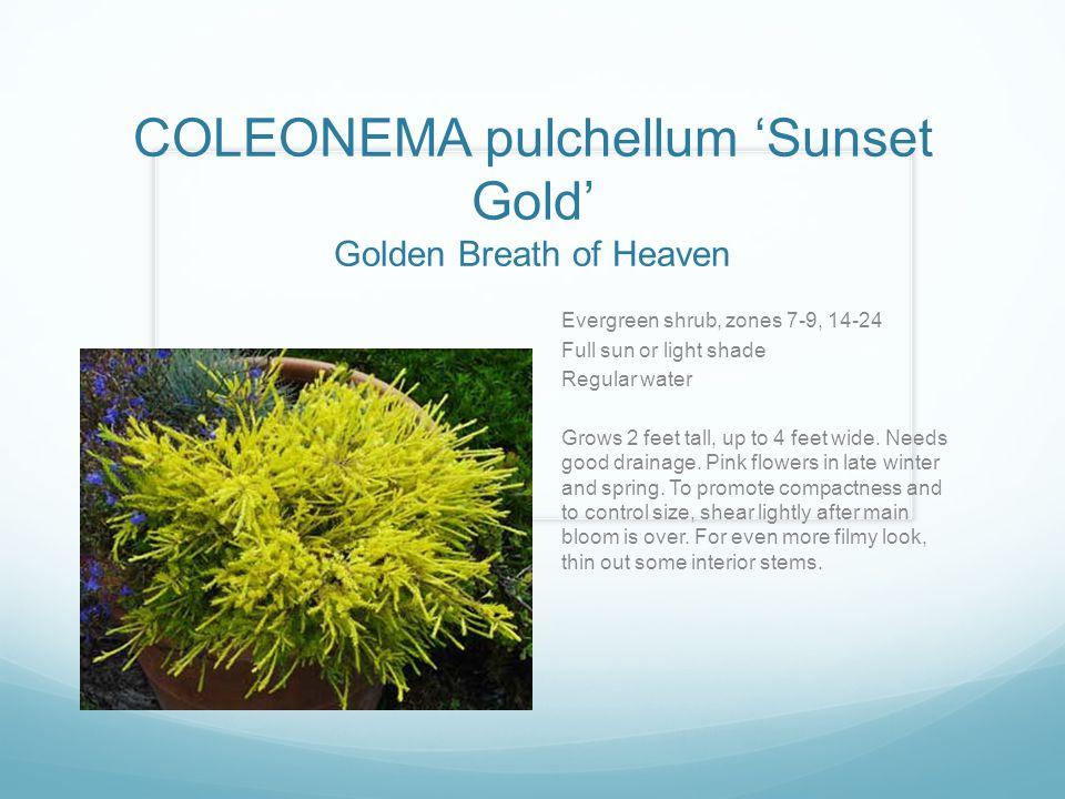 COLEONEMA pulchellum 'Sunset Gold' Golden Breath of Heaven Evergreen shrub, zones 7-9, 14-24 Full sun or light shade Regular water Grows 2 feet tall,