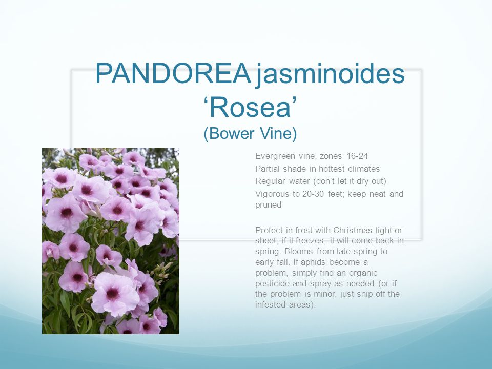 PANDOREA jasminoides 'Rosea' (Bower Vine) Evergreen vine, zones 16-24 Partial shade in hottest climates Regular water (don't let it dry out) Vigorous to 20-30 feet; keep neat and pruned Protect in frost with Christmas light or sheet; if it freezes, it will come back in spring.