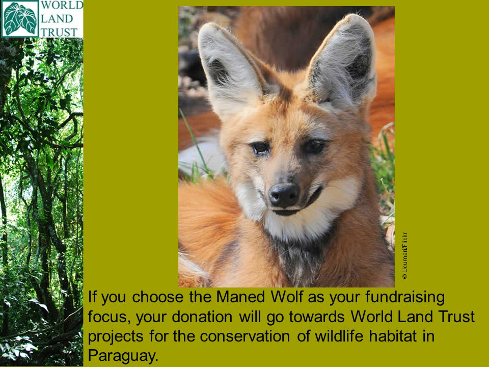 If you choose the Maned Wolf as your fundraising focus, your donation will go towards World Land Trust projects for the conservation of wildlife habitat in Paraguay.