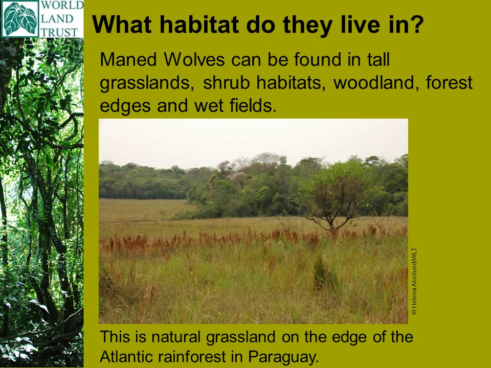 Why are they threatened: The biggest threat to the Maned Wolf is the loss of its habitat.