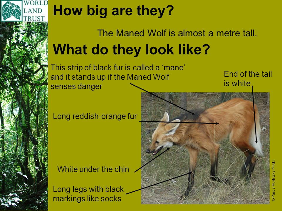 How big are they. The Maned Wolf is almost a metre tall.