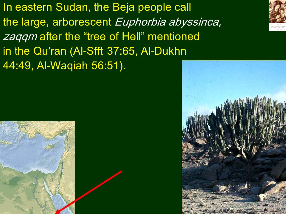 In eastern Sudan, the Beja people call the large, arborescent Euphorbia abyssinca, zaqqm after the tree of Hell mentioned in the Qu'ran (Al-Sfft 37:65, Al-Dukhn 44:49, Al-Waqiah 56:51).