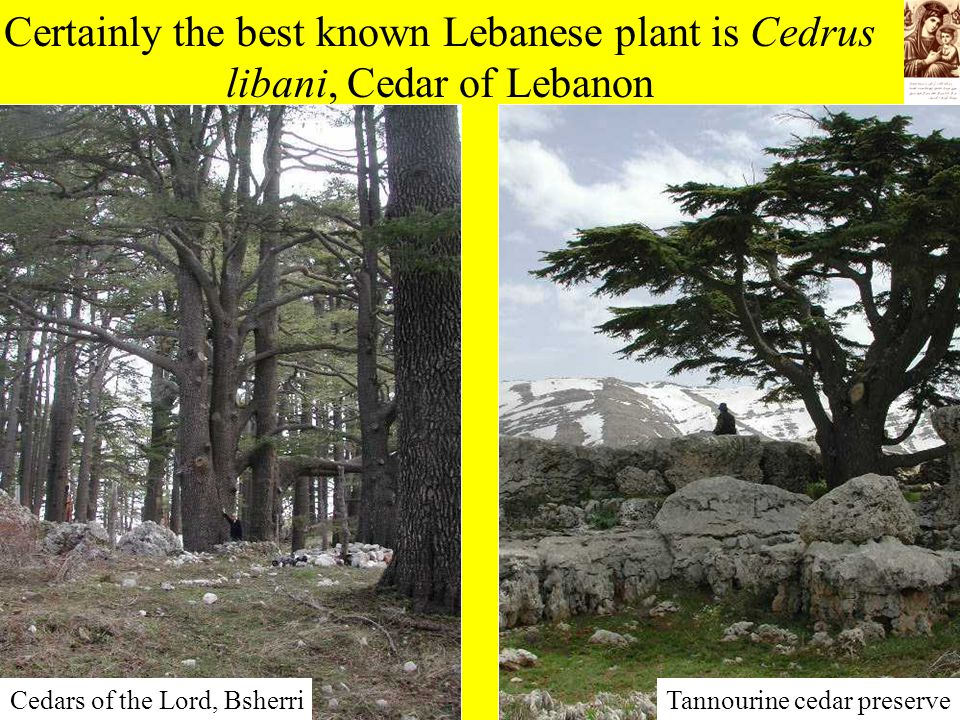 Certainly the best known Lebanese plant is Cedrus libani, Cedar of Lebanon Tannourine cedar preserveCedars of the Lord, Bsherri