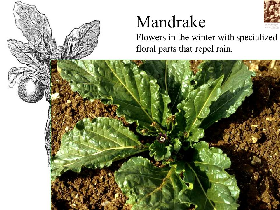 Mandrake Flowers in the winter with specialized floral parts that repel rain.