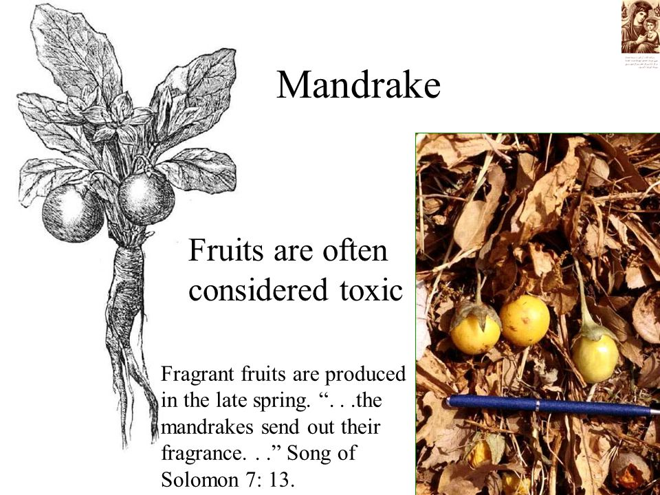 Mandrake Fruits are often considered toxic Fragrant fruits are produced in the late spring.