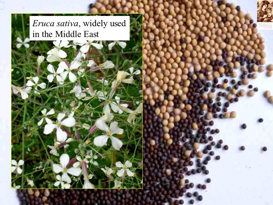 Eruca sativa, widely used in the Middle East