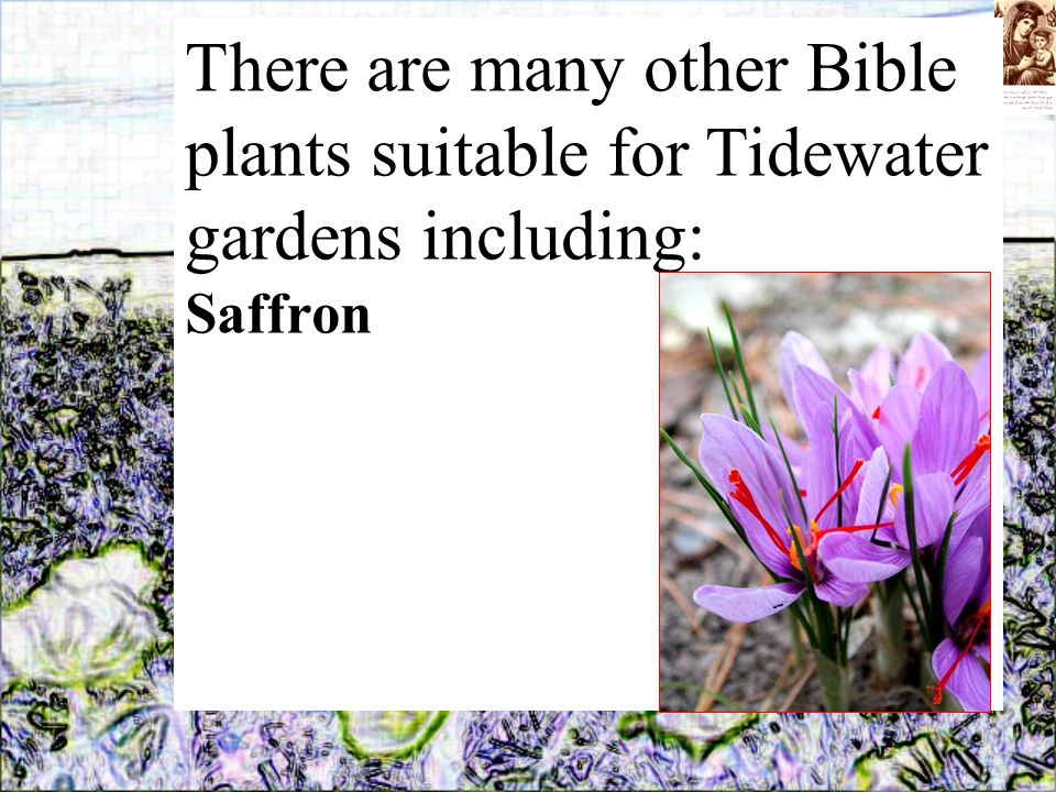There are many other Bible plants suitable for Tidewater gardens including: Saffron