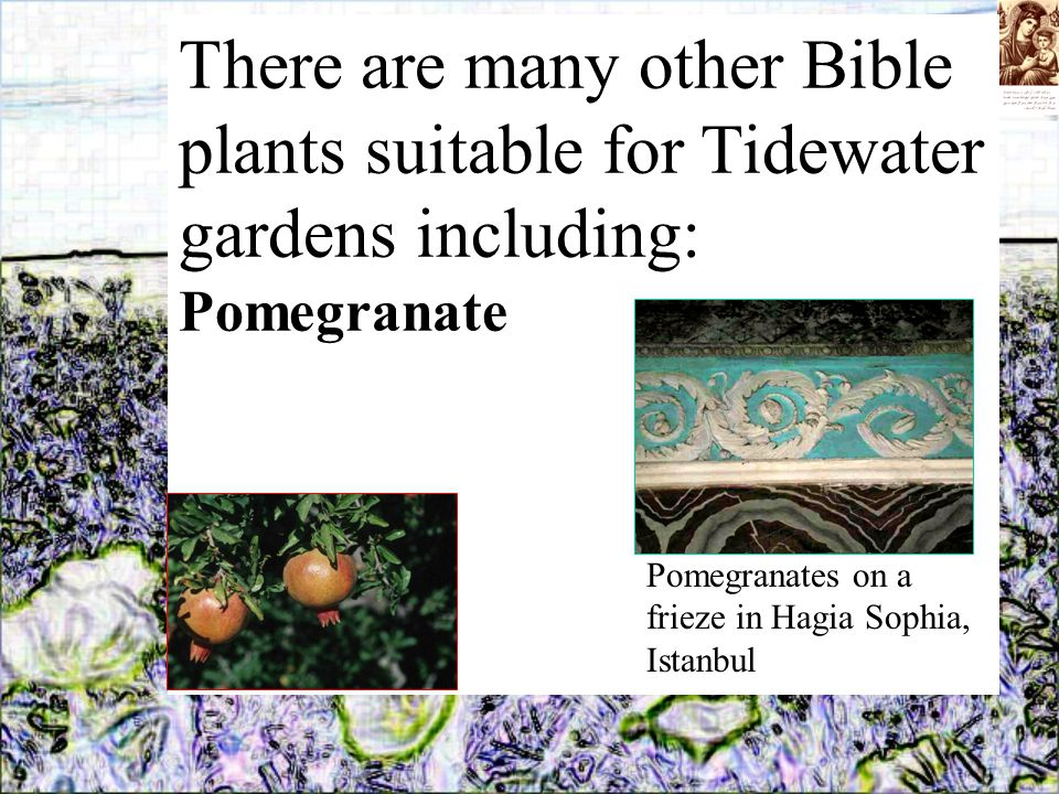 There are many other Bible plants suitable for Tidewater gardens including: Pomegranate Pomegranates on a frieze in Hagia Sophia, Istanbul