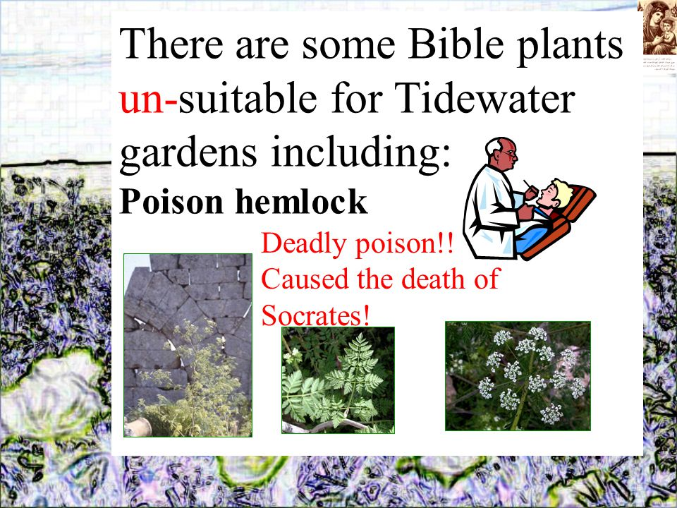 There are some Bible plants un-suitable for Tidewater gardens including: Poison hemlock Deadly poison!.