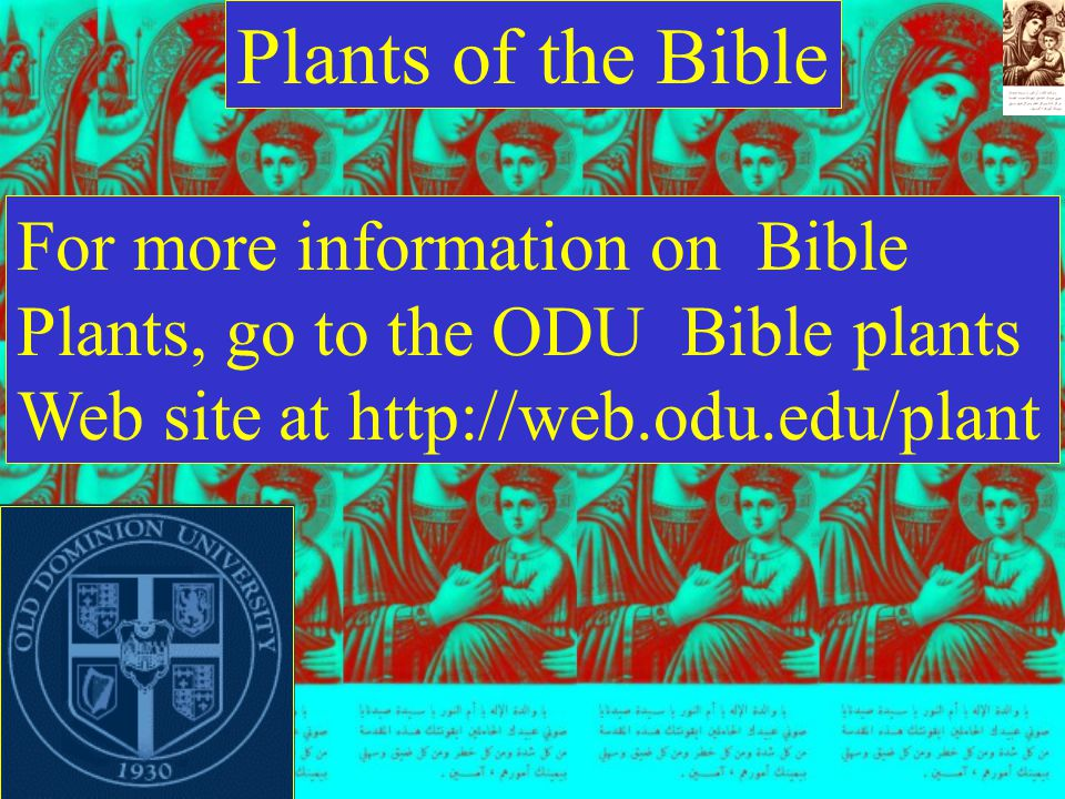 Plants of the Bible For more information on Bible Plants, go to the ODU Bible plants Web site at http://web.odu.edu/plant