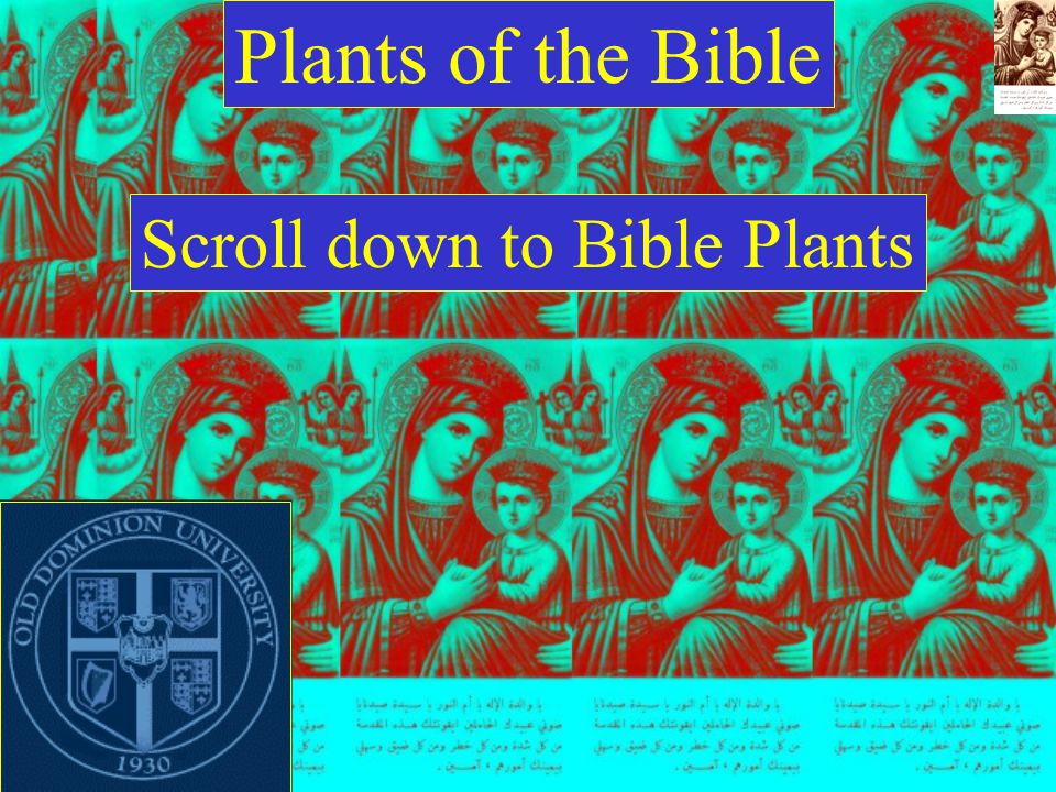 Plants of the Bible Scroll down to Bible Plants