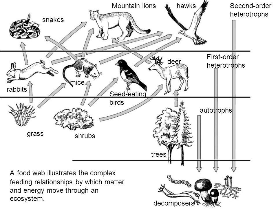 snakes Mountain lionshawksSecond-order heterotrophs First-order heterotrophs autotrophs decomposers shrubs grass rabbits mice Seed-eating birds deer t
