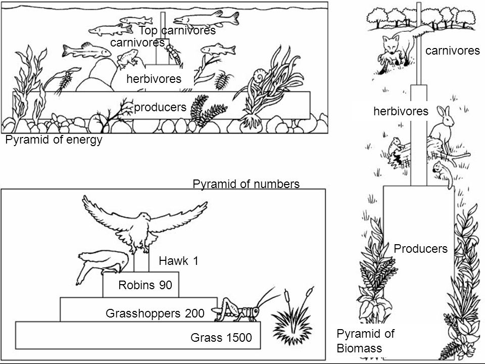 Pyramid of energy Pyramid of numbers Pyramid of Biomass Producers herbivores carnivores producers herbivores carnivores Top carnivores Grass 1500 Gras
