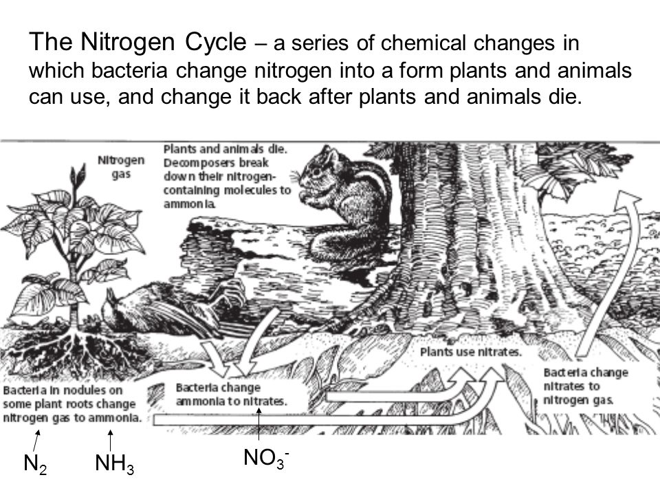 The Nitrogen Cycle – a series of chemical changes in which bacteria change nitrogen into a form plants and animals can use, and change it back after p