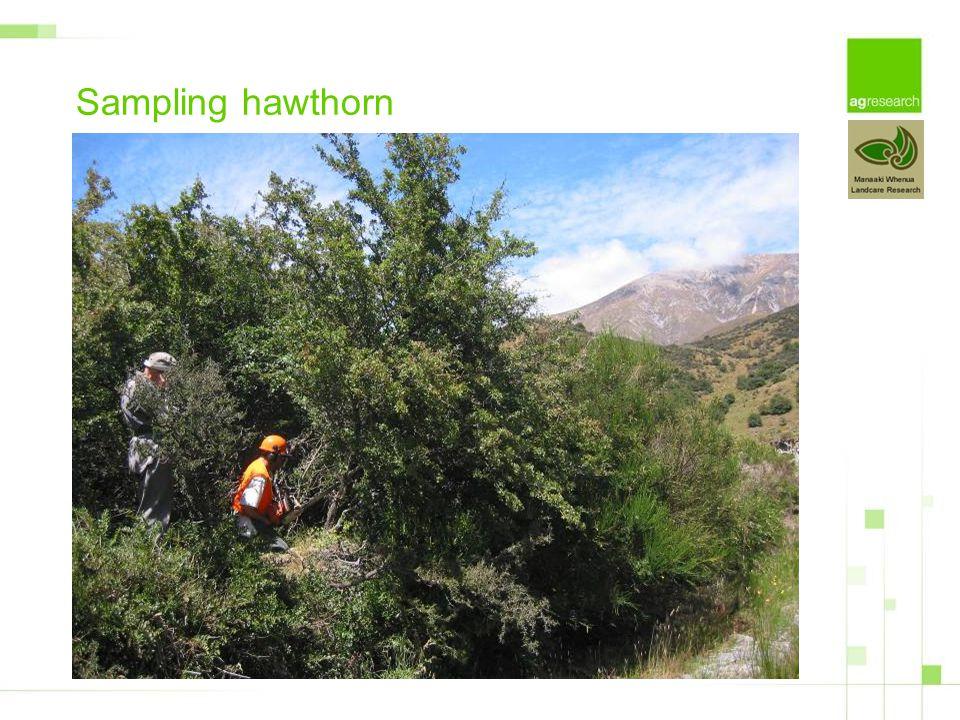 Sampling hawthorn