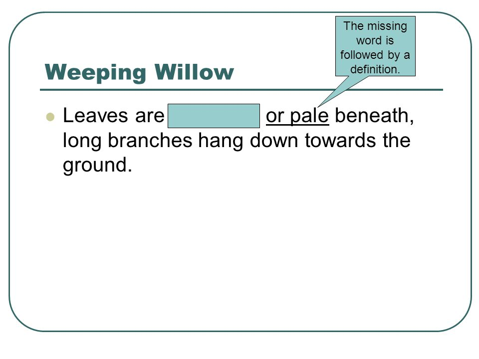 Weeping Willow Leaves are whitened or pale beneath, long branches hang down towards the ground.