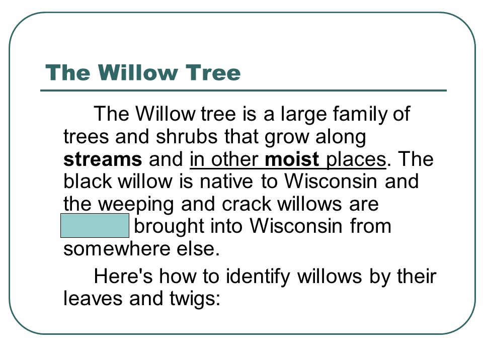 The Willow Tree The Willow tree is a large family of trees and shrubs that grow along streams and in other moist places.
