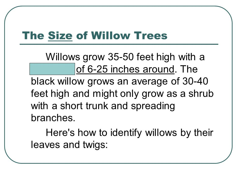 The Size of Willow Trees Willows grow 35-50 feet high with a diameter of 6-25 inches around.