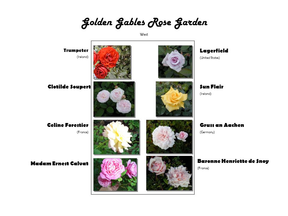 Golden Gables Rose Garden West Trumpeter (Ireland) Clotilde Soupert Celine Forestier (France) Madam Ernest Calvat Lagerfield (United States) Sun Flair (Ireland) Gruss an Aachen (Germany) Baronne Henriette de Snoy (France)