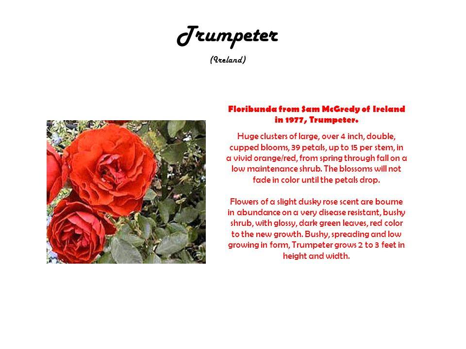 Trumpeter (Ireland) Floribunda from Sam McGredy of Ireland in 1977, Trumpeter.