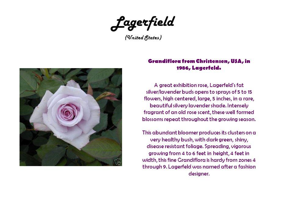 Lagerfield (United States) Grandiflora from Christensen, USA, in 1986, Lagerfeld.