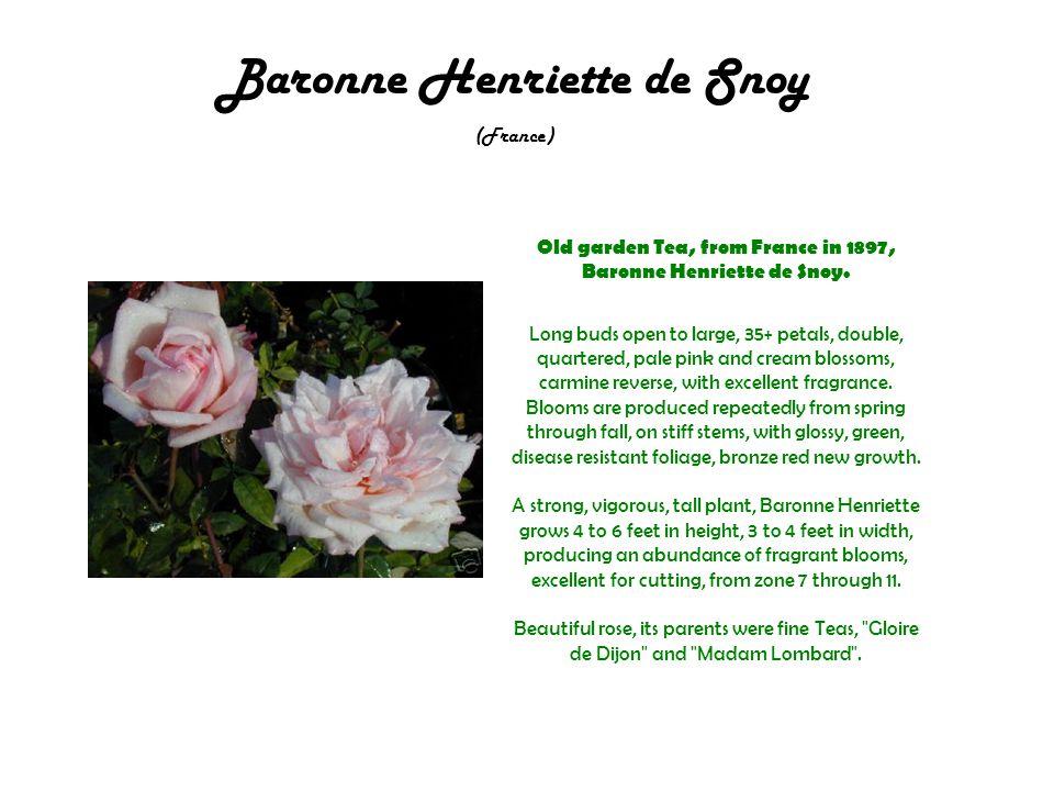 Baronne Henriette de Snoy (France) Old garden Tea, from France in 1897, Baronne Henriette de Snoy.