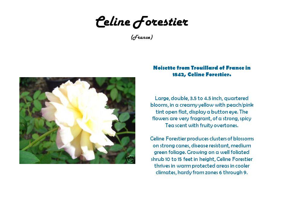 Celine Forestier (France) Noisette from Trouillard of France in 1842, Celine Forestier.