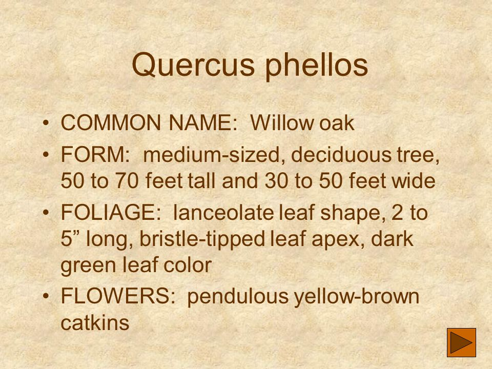 Quercus phellos COMMON NAME: Willow oak FORM: medium-sized, deciduous tree, 50 to 70 feet tall and 30 to 50 feet wide FOLIAGE: lanceolate leaf shape,