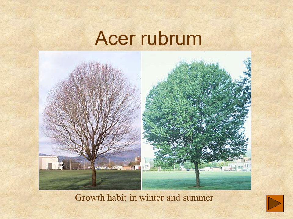 Acer rubrum Growth habit in winter and summer