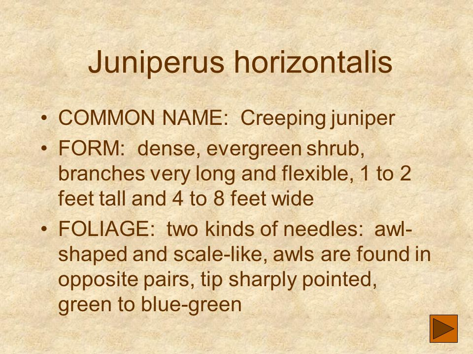 Juniperus horizontalis COMMON NAME: Creeping juniper FORM: dense, evergreen shrub, branches very long and flexible, 1 to 2 feet tall and 4 to 8 feet w