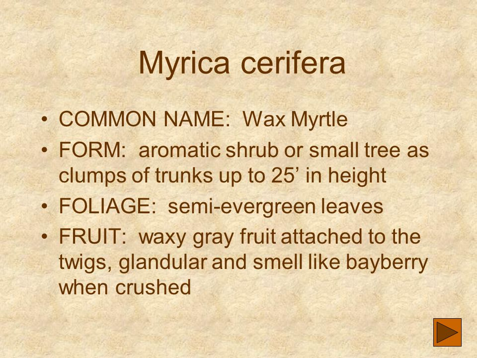 Myrica cerifera COMMON NAME: Wax Myrtle FORM: aromatic shrub or small tree as clumps of trunks up to 25' in height FOLIAGE: semi-evergreen leaves FRUI