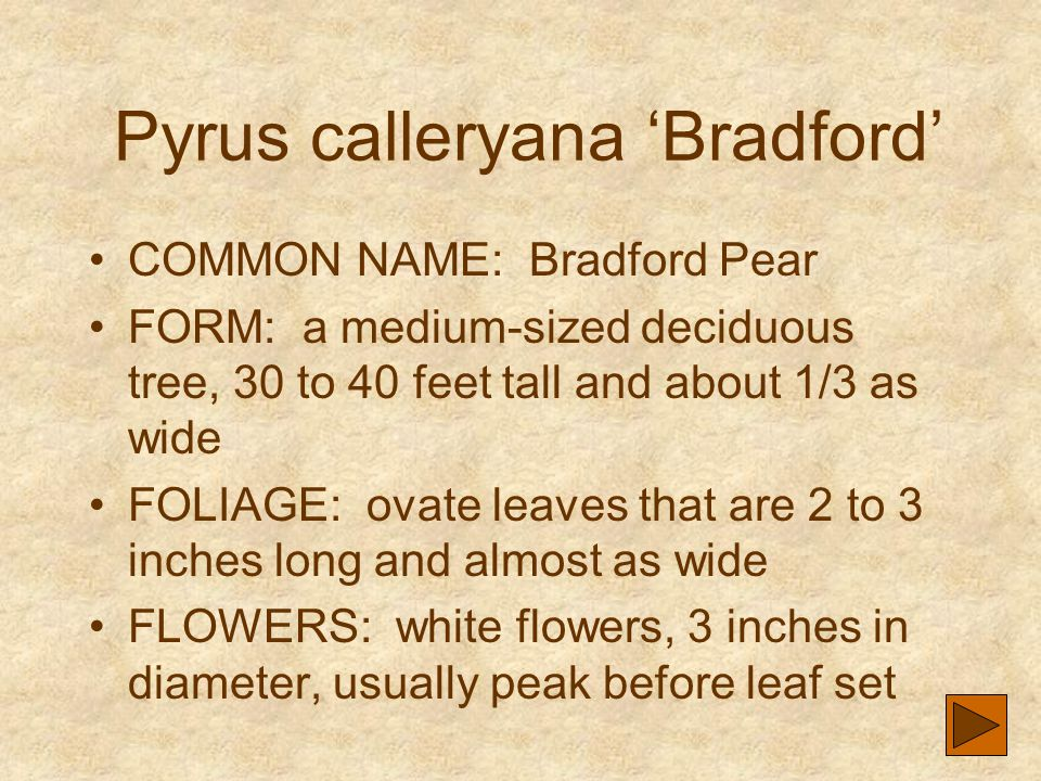 Pyrus calleryana 'Bradford' COMMON NAME: Bradford Pear FORM: a medium-sized deciduous tree, 30 to 40 feet tall and about 1/3 as wide FOLIAGE: ovate le