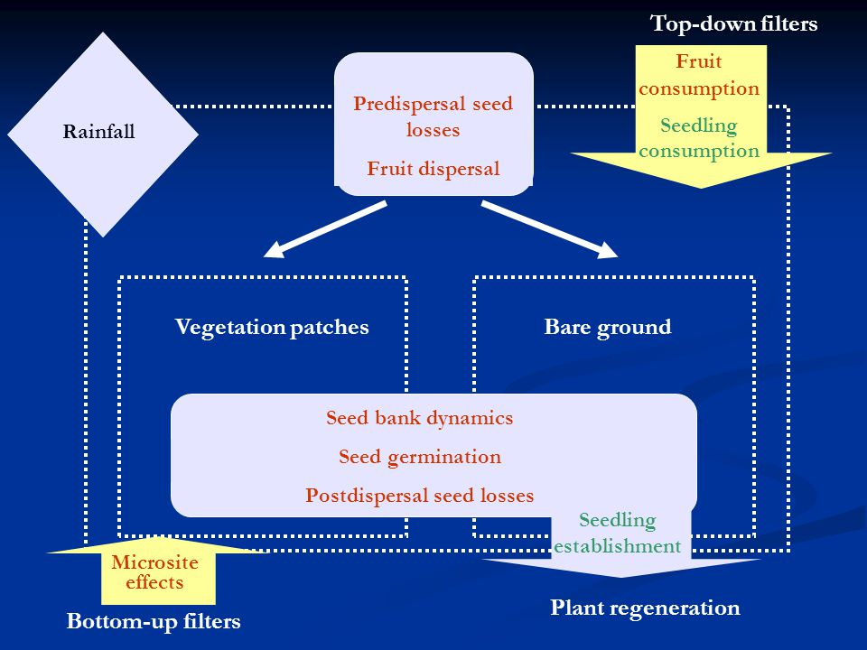 Predispersal seed losses Fruit dispersal Vegetation patchesBare ground Rainfall Plant regeneration Seed bank dynamics Seed germination Postdispersal seed losses Top-down filters Fruit consumption Seedling consumption Bottom-up filters Microsite effects Seedling establishment