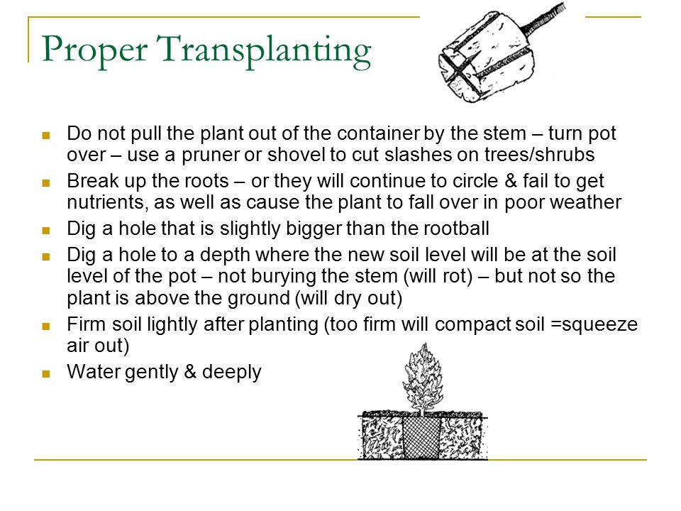 Proper Transplanting Do not pull the plant out of the container by the stem – turn pot over – use a pruner or shovel to cut slashes on trees/shrubs Break up the roots – or they will continue to circle & fail to get nutrients, as well as cause the plant to fall over in poor weather Dig a hole that is slightly bigger than the rootball Dig a hole to a depth where the new soil level will be at the soil level of the pot – not burying the stem (will rot) – but not so the plant is above the ground (will dry out) Firm soil lightly after planting (too firm will compact soil =squeeze air out) Water gently & deeply