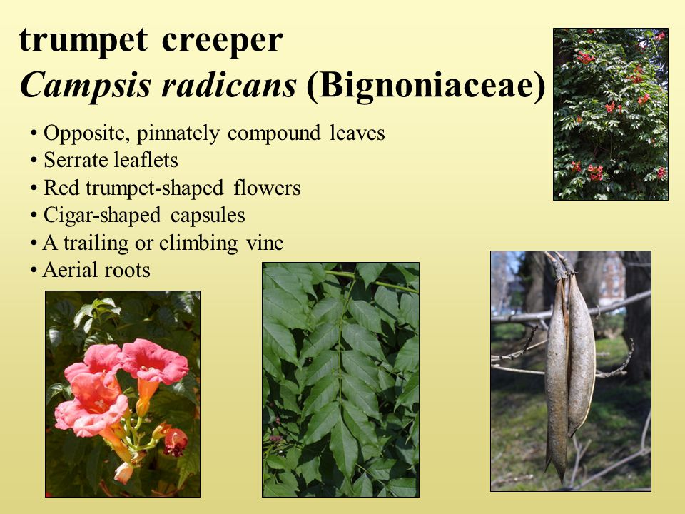 trumpet creeper Campsis radicans (Bignoniaceae) Opposite, pinnately compound leaves Serrate leaflets Red trumpet-shaped flowers Cigar-shaped capsules A trailing or climbing vine Aerial roots