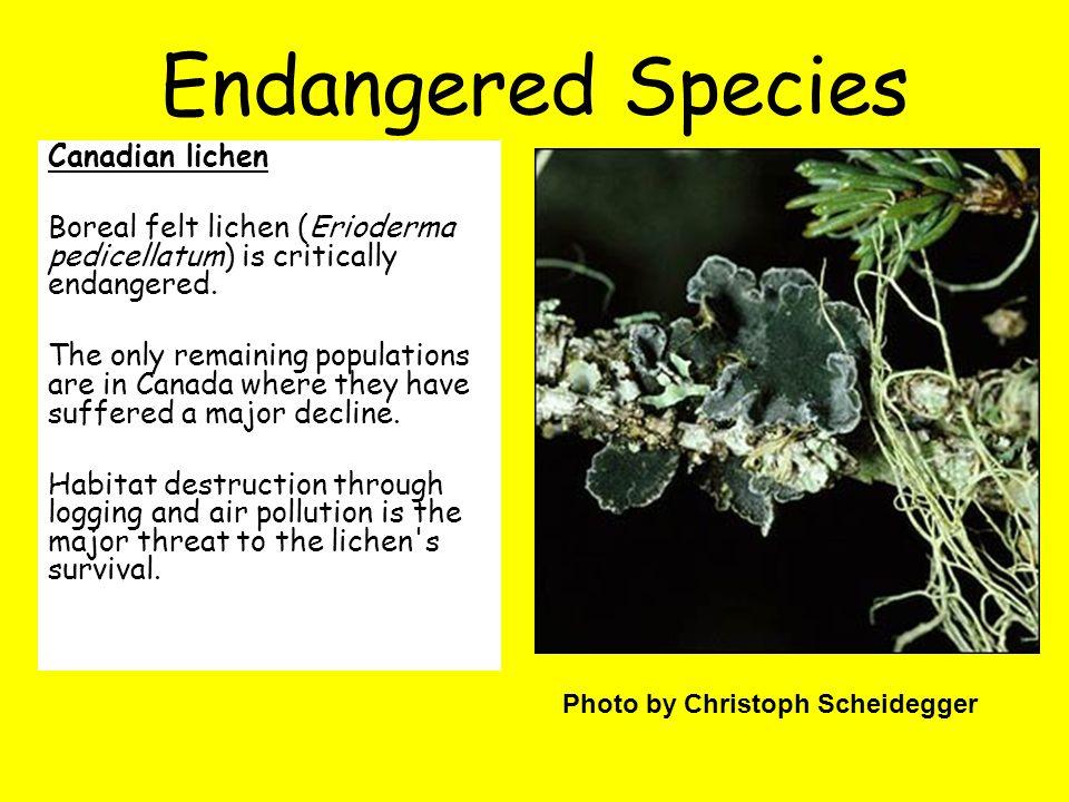 Canadian lichen Boreal felt lichen (Erioderma pedicellatum) is critically endangered.