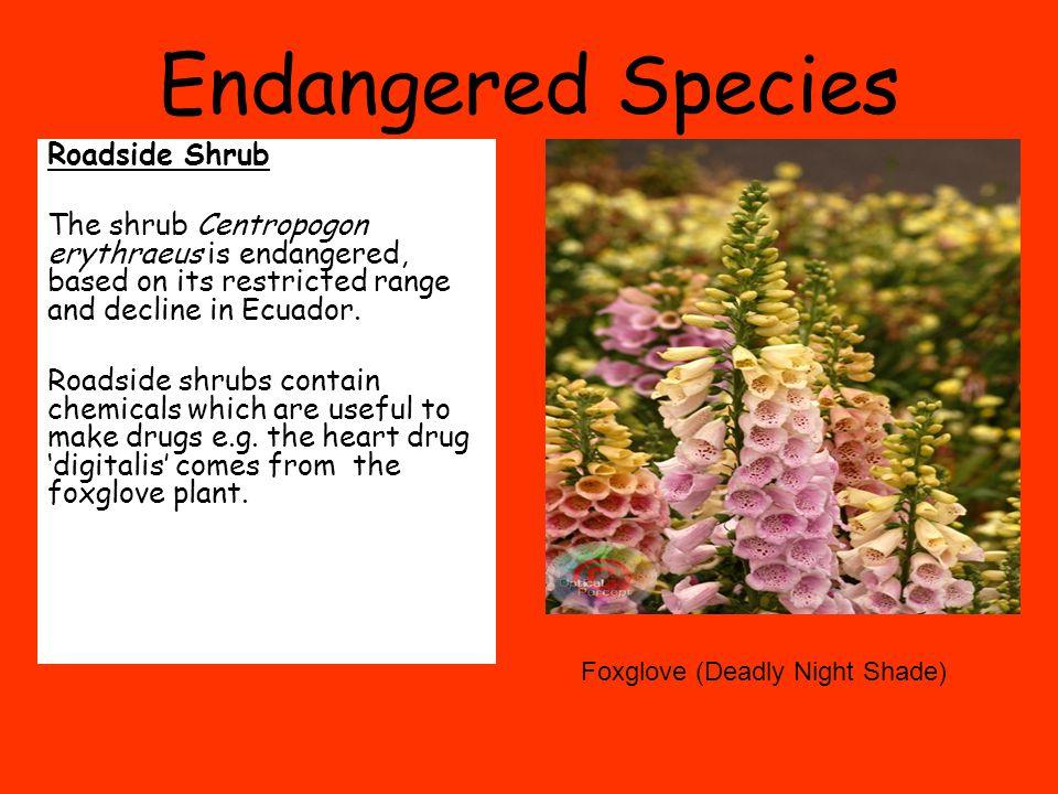Endangered Species Roadside Shrub The shrub Centropogon erythraeus is endangered, based on its restricted range and decline in Ecuador.