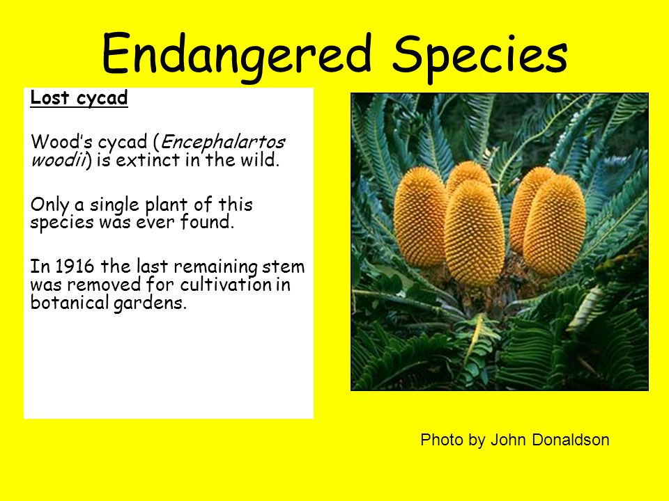 Endangered Species L ost cycad Wood's cycad (Encephalartos woodii) is extinct in the wild.