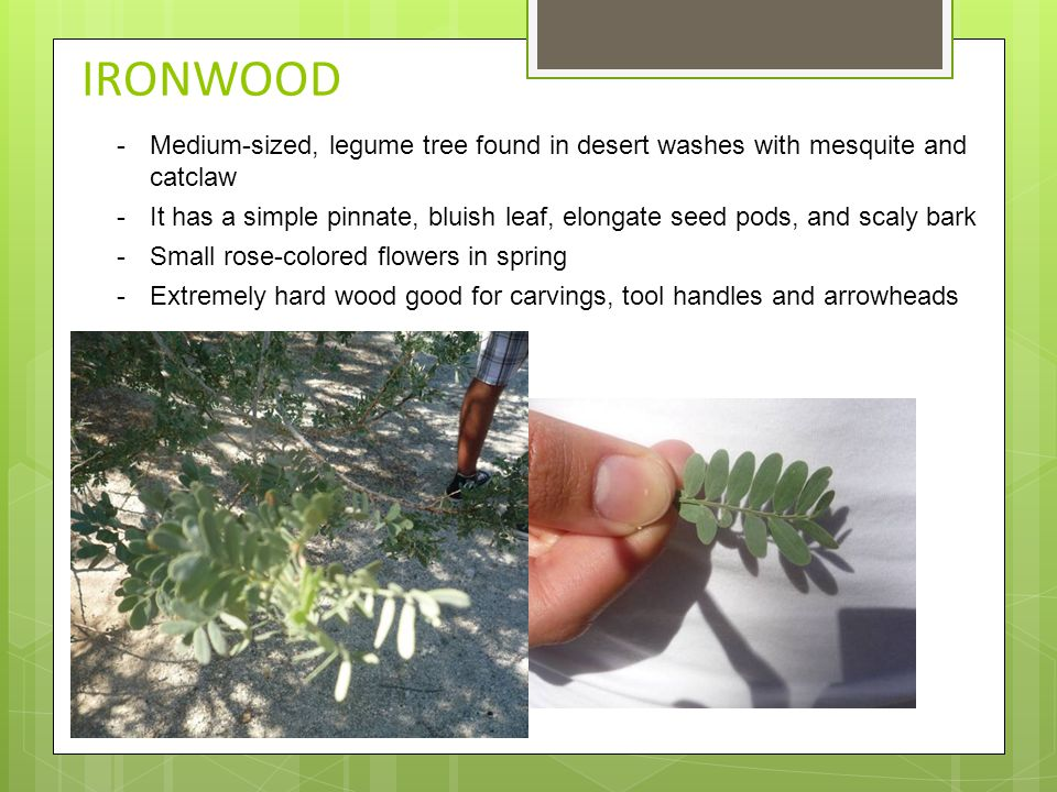IRONWOOD -Medium-sized, legume tree found in desert washes with mesquite and catclaw -It has a simple pinnate, bluish leaf, elongate seed pods, and sc
