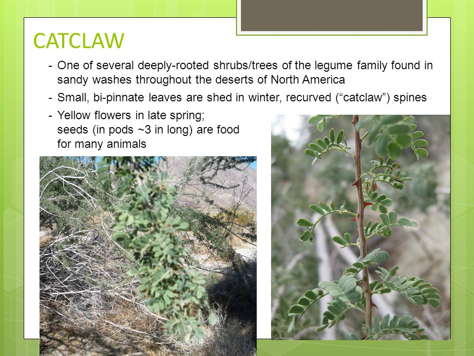 CATCLAW -One of several deeply-rooted shrubs/trees of the legume family found in sandy washes throughout the deserts of North America -Small, bi-pinna