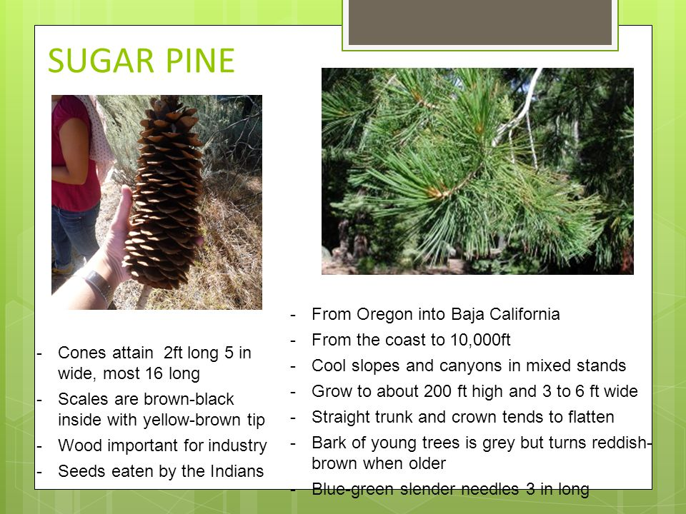 SUGAR PINE -From Oregon into Baja California -From the coast to 10,000ft -Cool slopes and canyons in mixed stands -Grow to about 200 ft high and 3 to