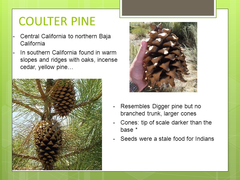 COULTER PINE -Central California to northern Baja California -In southern California found in warm slopes and ridges with oaks, incense cedar, yellow