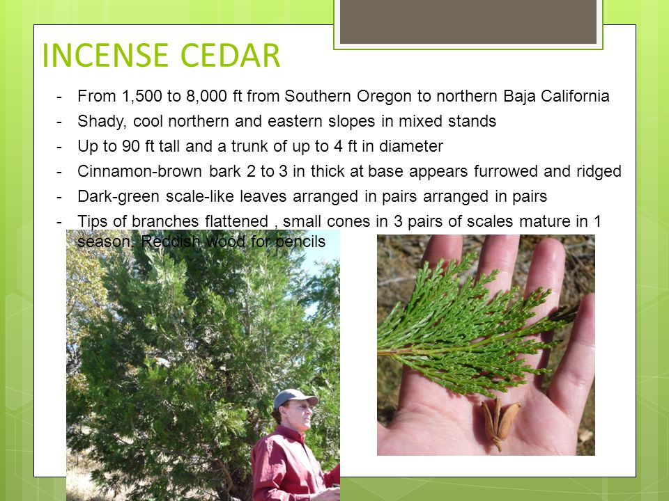 INCENSE CEDAR -From 1,500 to 8,000 ft from Southern Oregon to northern Baja California -Shady, cool northern and eastern slopes in mixed stands -Up to