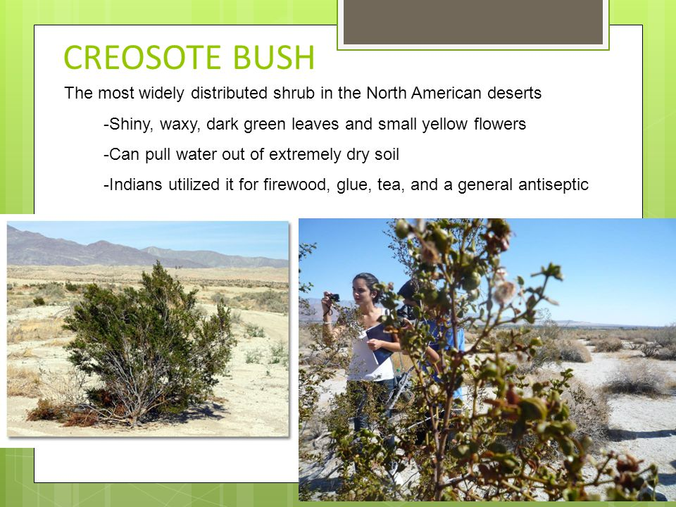 CREOSOTE BUSH The most widely distributed shrub in the North American deserts -Shiny, waxy, dark green leaves and small yellow flowers -Can pull water