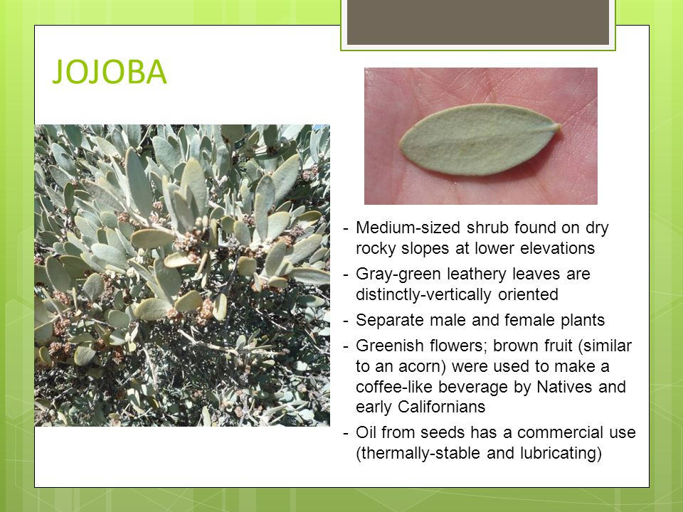 JOJOBA -Medium-sized shrub found on dry rocky slopes at lower elevations -Gray-green leathery leaves are distinctly-vertically oriented -Separate male