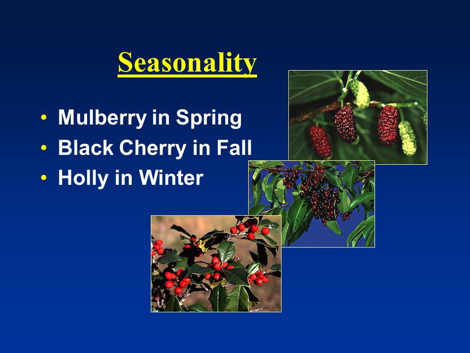 Seasonality Mulberry in Spring Black Cherry in Fall Holly in Winter