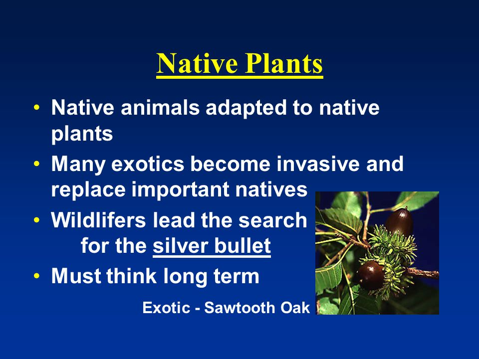 Native Plants Native animals adapted to native plants Many exotics become invasive and replace important natives Wildlifers lead the search for the silver bullet Must think long term Exotic - Sawtooth Oak