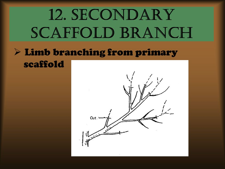 12. Secondary Scaffold Branch  Limb branching from primary scaffold