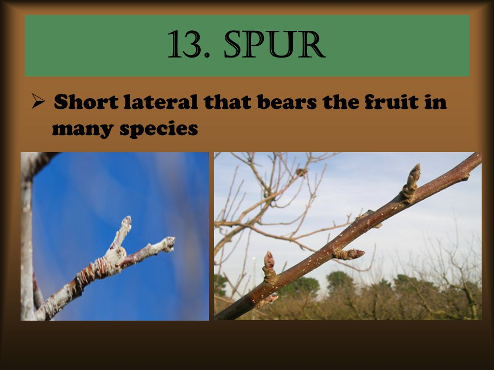 13. Spur  Short lateral that bears the fruit in many species